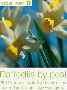 fentongollan_farm_daffodils_by_post