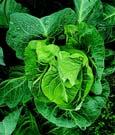 harrod_organic_cabbage_1