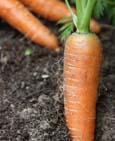 harrod_organic_carrot_1