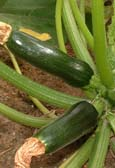 harrod_organic_cucumber_1