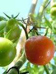 harrod_organic_tomato_1