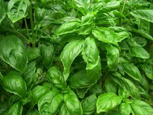 herbsbasil_1