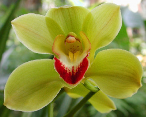orchidyellow_3