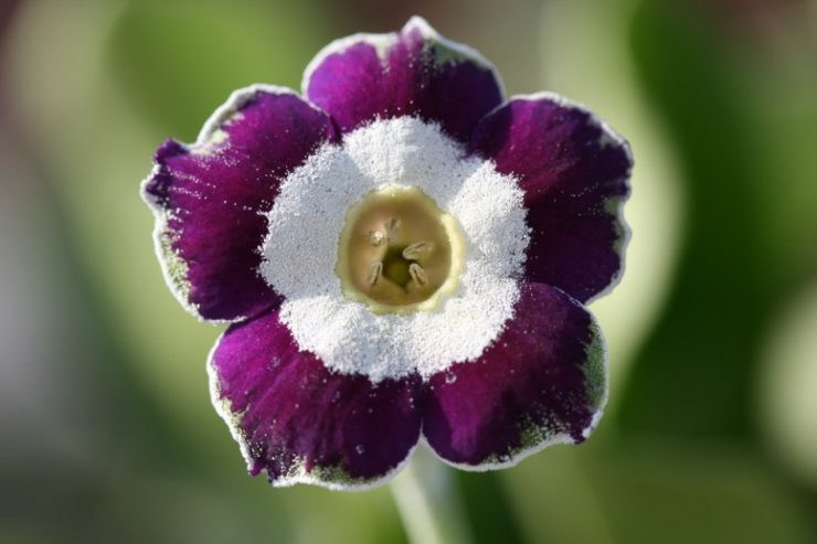 woottens_auricula_blue_chip8247low_res