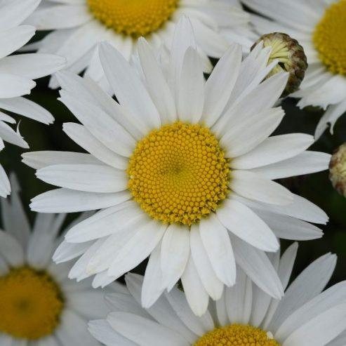 1 Primrose Perennial