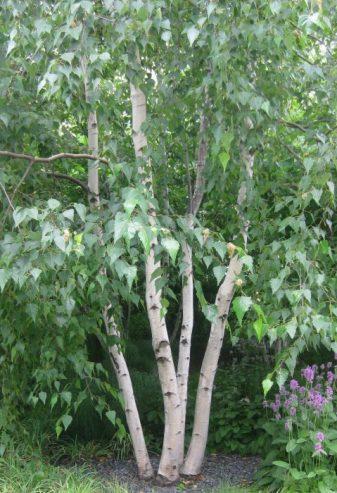 1 Primrose Silver Birch