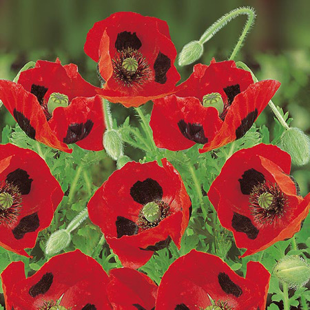 1 Primrose flower seeds poppylow res