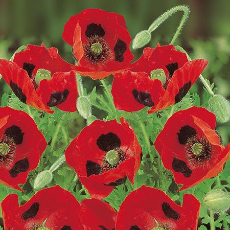 1-Primrose-flower-seeds-poppylow-res